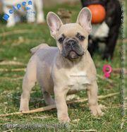 Familien freundliche Französische Bulldoggen