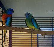 Glanzsittich Paar