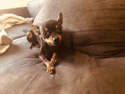 suche Spielgefährtin kleine Hund