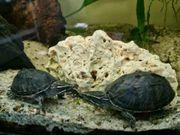 Wasserschildkröten Moschuswasserschildkröten