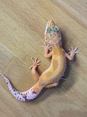 0 1 Tangerine Het Raptor