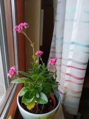 Kalanchoe Zimmerpflanze BtBj