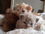 Selkirk Rex Kitten Katzenbabys