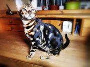 Bengal-Kitten mit Stammbaum