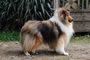 Collie Deckrüde dark Sable kein