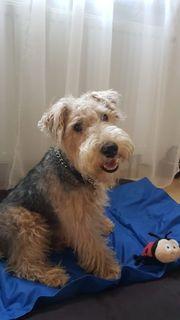 Deckrüde Lakeland Terrier Kein Verkauf