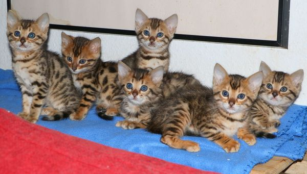 Bengal-Kitten 6 Zimmerleoparden noch 1