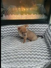 Chihuahua zu vergeben