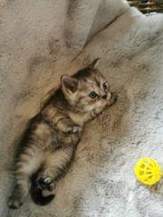 Unsere hübschen BKH Kitten suchen