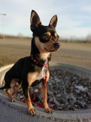 Deckrüde Chihuahua Prager Rattler