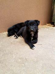 Super süße Border Collie Schäferhund