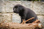 Wunderschöne Labrador-Mix-Welpen zu verkaufen