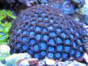 Krustenanemonen Zoanthus Blue Tubbs Meerwasser