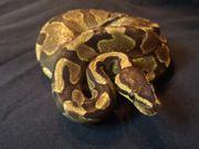 Königspython Weibchen enchi yellow belly