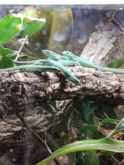takydromus smaragdinus