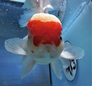 KOI 13 Anz 113 2020 Goldfisch -