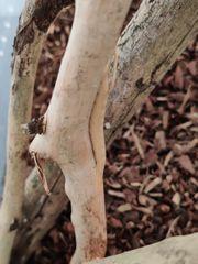 Phyllocrania paradoxa Ootheke