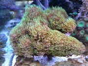 Clavularia viridis Korallen Ableger für