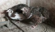 Celadon Wachteln - Hahn Henne Paar -