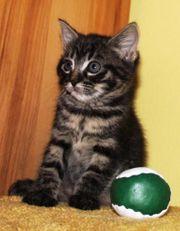 5 Kätzchen Kitten Katzenbabys