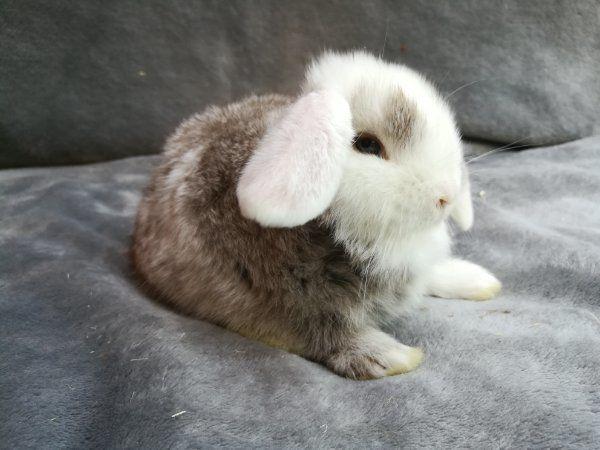 Original Mini Lop Kaninchen Babys ab sofort.