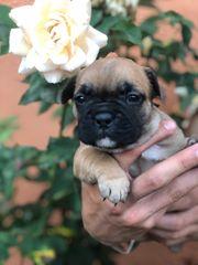 Süße Französische Bulldoggen Welpen zu