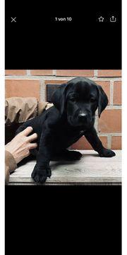 Süsse Labrador-Mix Welpen