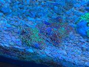 Korallen - Scheibenanemonen
