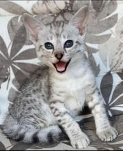 Savannah F2 Kitten Junge Mädel