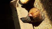 federfüßige Zwerghühner
