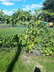 blaue muscat traubenpflanze