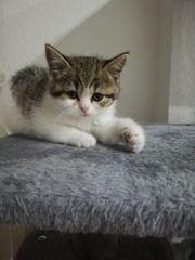 bkh kitten BKH