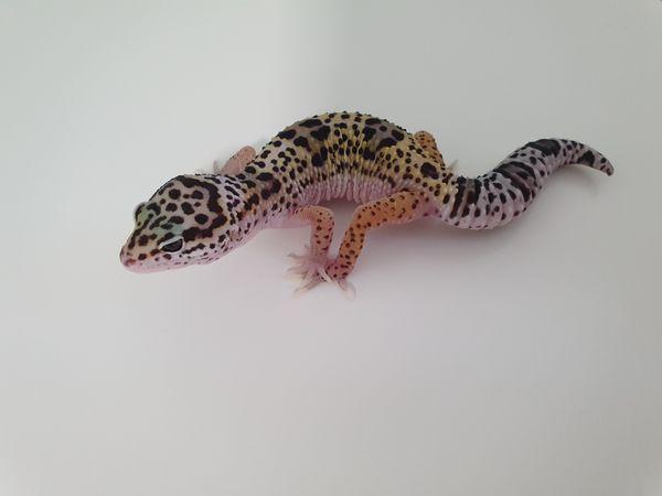 0. 1 (Female) Mack Snow Leopardgecko NZ``20