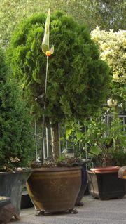Thuja - Lebensbaum Hochstamm ca 160