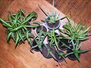 Chlorophytum Aloe Vera Pflanzen