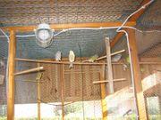 Timbrator Kanarienvögel