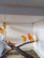 Verkaufe Kanarienvögel