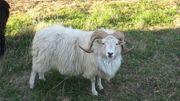 Weißer Schafsbock -Rasse Ostpreußischer Skuddenbock