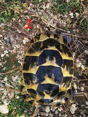 3 Maurische Landschildkröten weibchen testudo