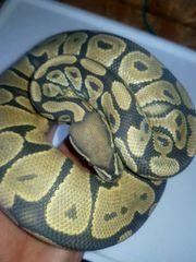 königspython