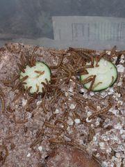 Mehlwürmer aus Zucht