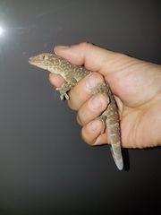 Tokeh Gecko Gecko