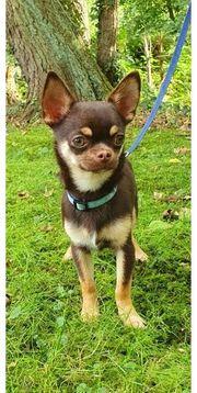 Chihuahua Rüde Welpe