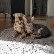 Hübsche Bengaln Mix Kitten suchen