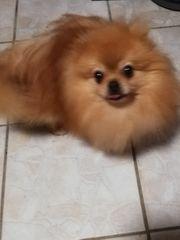 Reinrassiger Pomeranian