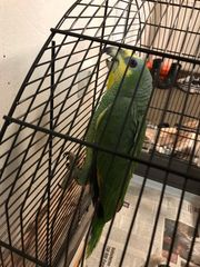 Amazone Papagei von 2020