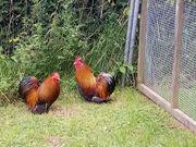 Zwerg Cochinhühner