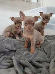 Chihuahua Mini Chihuahua