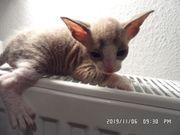 Kitten Don-Sphynx