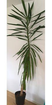 Yucca-Palme sucht neues Zuhause